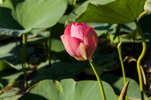 Lilia wodna lub kwiat lotosu, różowe kwiaty rosnące w wodzie.