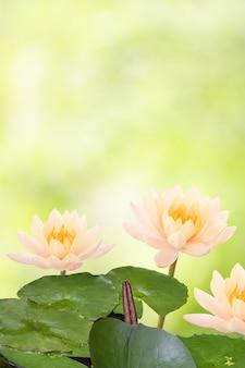 Lilia wodna lub nymphaea nouchali kwiat na tle przyrody boken ze ścieżką przycinającą.