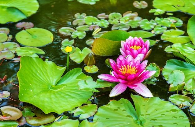 Lilia wodna w ogrodzie koko-en w himeji - japonia