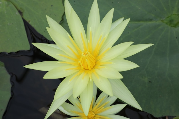 Lilia wodna w stawie w tajlandii