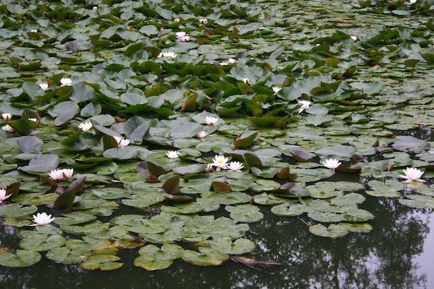 Lilia wodna w stawie
