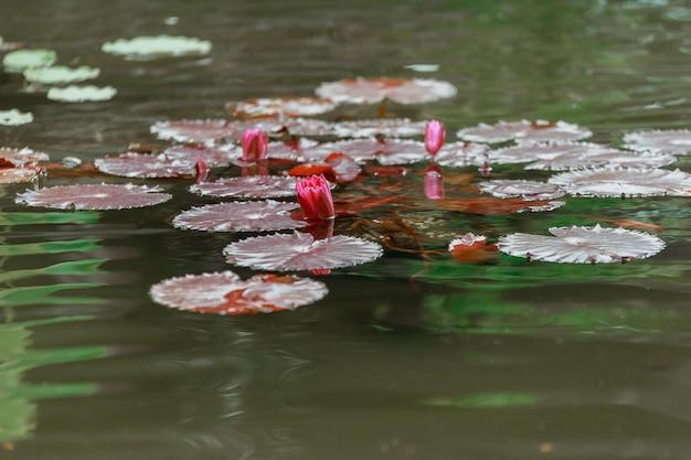 Lilia wodna wiosną