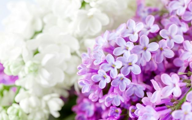 Liliak biało-fioletowy