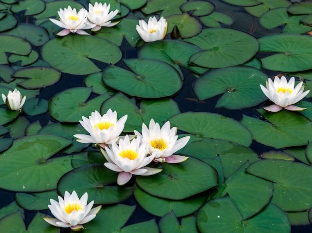 Lilie wodne kwitnące na tafli jeziora.