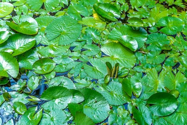 Lilie wodne na powierzchni wody jeziora