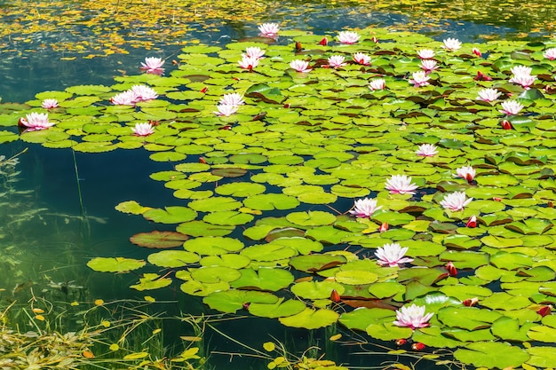 Lilie wodne nymphaea sp. pokryć powierzchnię słodkowodnego stawu. naturalny obraz tła.