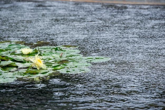 Lilie wodne w deszczowy dzień