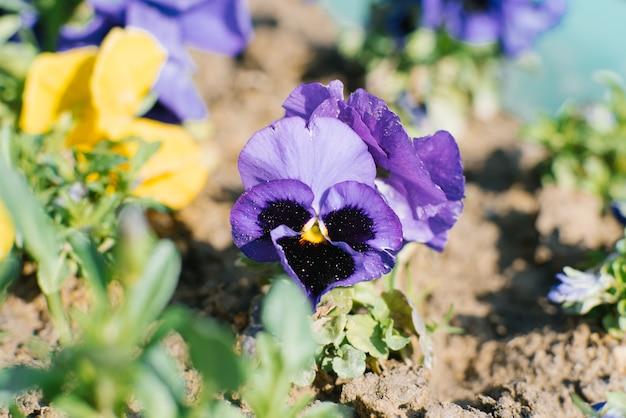 Liliowe fioletowe bratki kwitną wiosną w ogrodzie w słoneczny, pogodny dzień