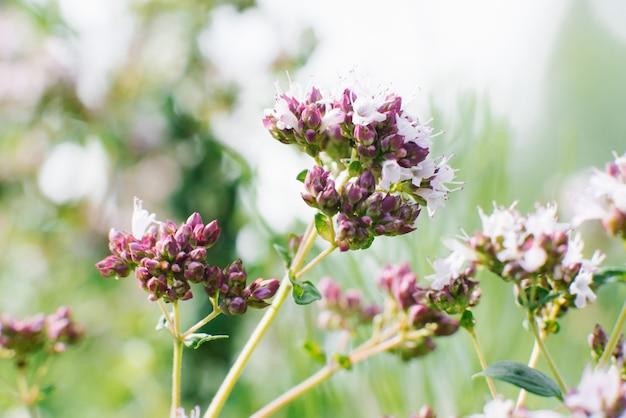 Liliowe kwiaty oregano lub oregano kwitną latem w zbliżeniu ogrodu, selektywne skupienie