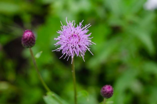 Liliowe pole chabrowe. chaber pospolity, kwiaty polne, rabata z roślinami.