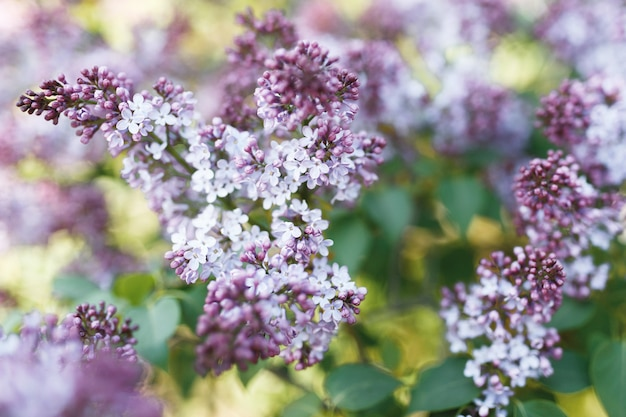 Liliowy. bzy lub strzykawka. kolorowe fioletowe kwiaty bzu z zielonymi liśćmi. kwiatowy wzór. lila tekstura tło. liliowa tapeta