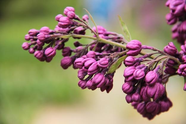 Liliowy fioletowy kwiat z bliska piękne tło
