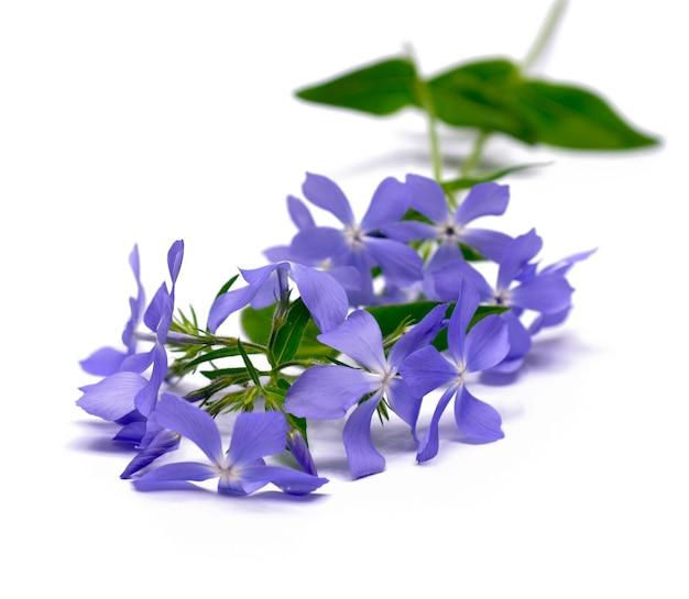 Liliowy kwiat na białym tle