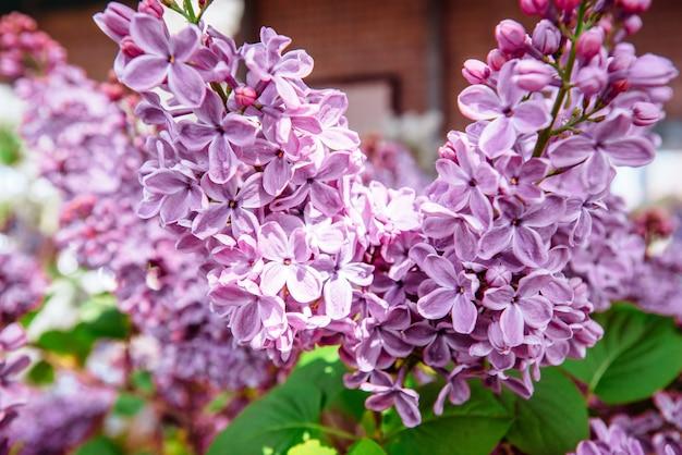 Liliowy. purpurowy . bukiet bzów. piękne kwiaty