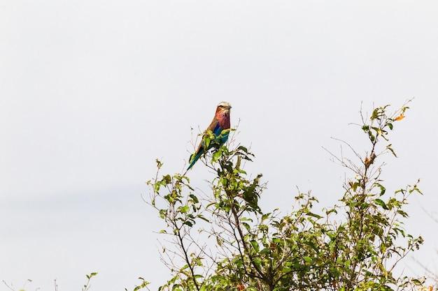 Liliowy wałek na drzewie afryka