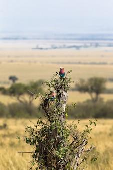 Liliowy wałek na drzewie masai mara, kenia, afryka
