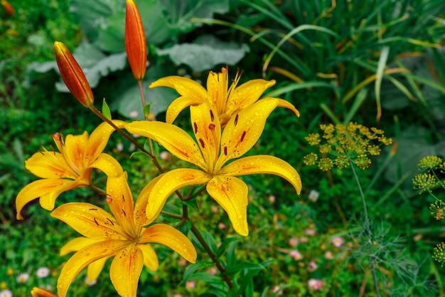 Lilium. żółte kwitnące kwiaty z kroplami wody na płatkach