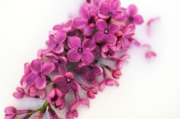 Lily kwiatu zbliżenie na biel ścianie. makro liliową gałąź w lekkiej wodzie lub mleku. krzewy kwiaty w tonacji wysokiej. purpurowy wiosenny kwiat syringa. piękny bukiet wiosennego bzu. nieostrość