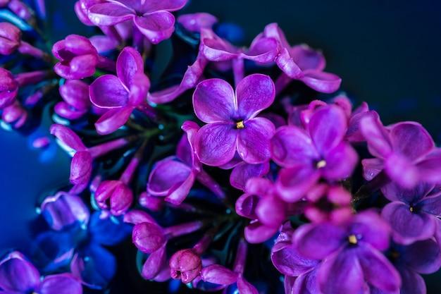 Lily kwiatu zbliżenie na zmrok ścianie. makro- liliowa gałąź w zmroku - błękitna woda. krzewy kwiaty w niskim kluczu. purpurowy wiosenny kwiat syringa. piękny bukiet wiosennego bzu. selektywne ustawianie ostrości