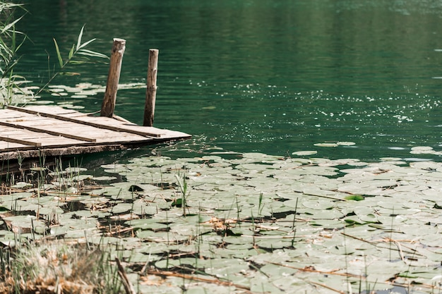 Lily ochraniacze unosi się na stawie blisko mola