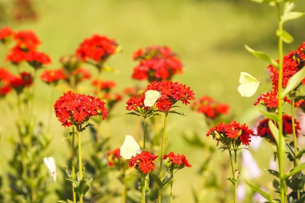 Limonit motyli, pospolita siarka, gonepteryx rhamni na lychnis chalcedonica kwitnąca roślina na zewnątrz w letni dzień