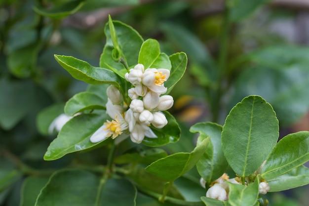 Limonka to rodzina cytrusów i krzewiaste drzewo z wieloma kolcami. jej pień ma wiele brunchów
