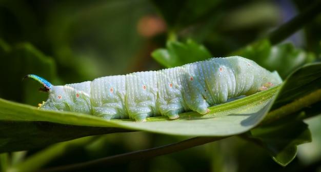 Limonkowa gąsienica jastrzębia na liściu