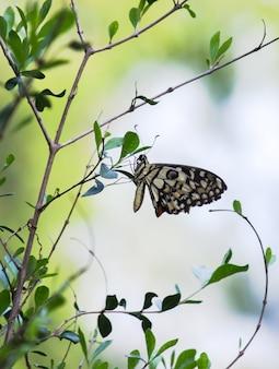 Limonkowy motyl wisi na liściach