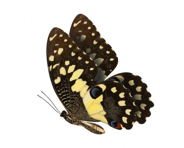 Limonkowy motyl z dolnymi skrzydłami