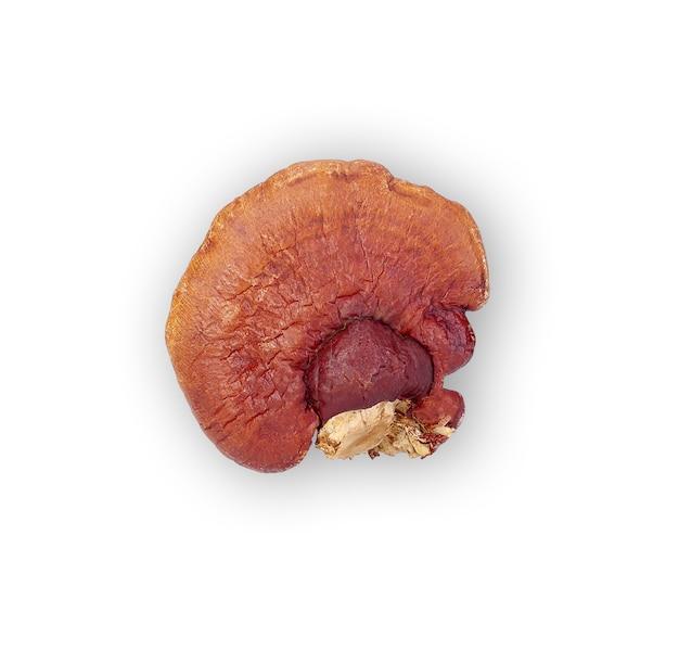 Lingzhi mushroom ganoderma lucidum na białym tle
