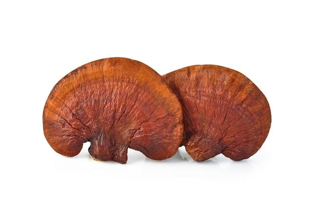 Lingzhi mushroom ganoderma lucidum pojedynczo na białej przestrzeni