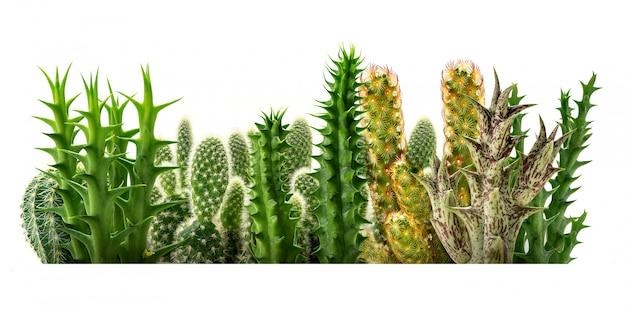 Linia kaktusów na białym tle