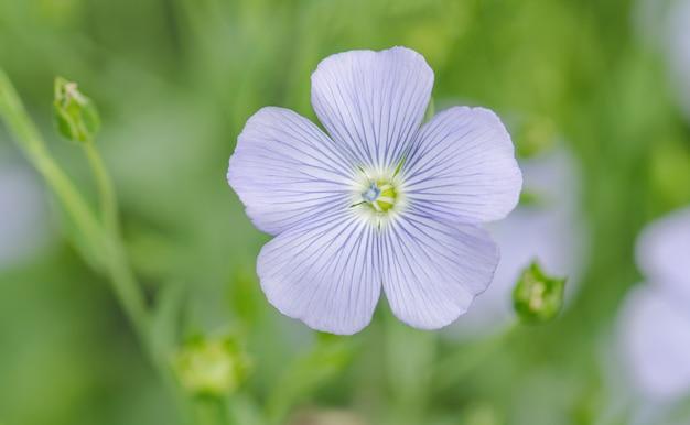 Linum perenne (wieloletni len). niebieskie kwiaty lnu