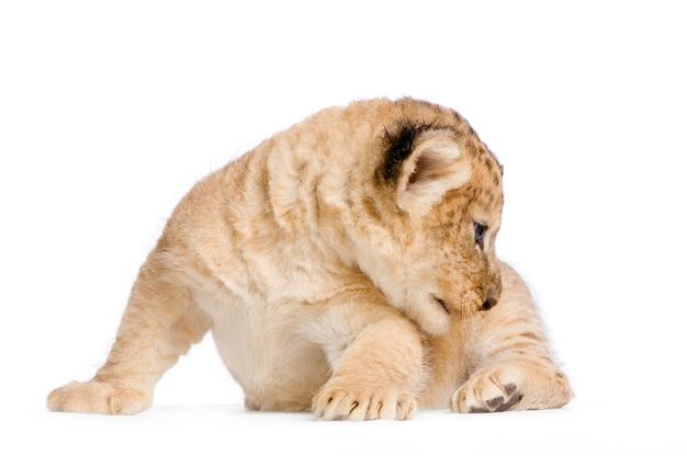 Lion cub (3 tygodnie) w pozycji leżącej na białym tle.
