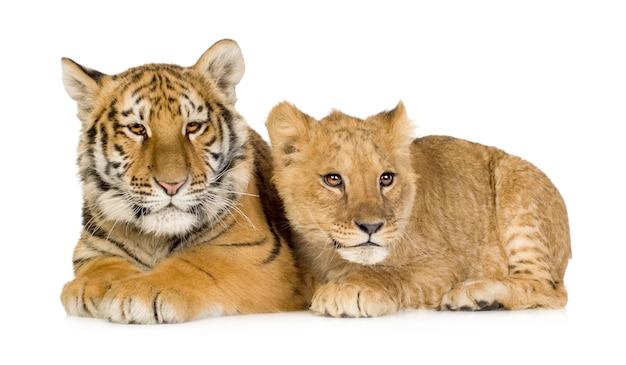 Lion cub (5 miesięcy) i tiger cub (5 miesięcy) przed białym