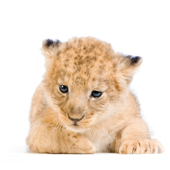 Lion cub leżącej na białym tle.