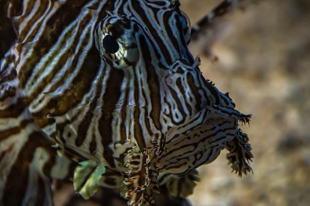 Lionfish oczy zbliżenie morze pod wodą