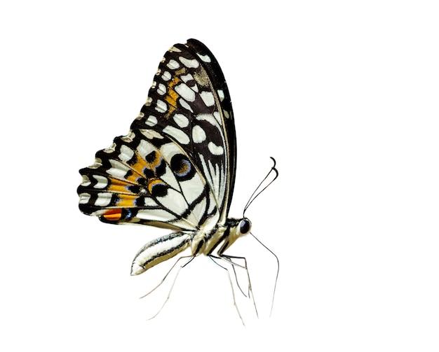 Lipa motyl (papilio demoleus) na białym tle.