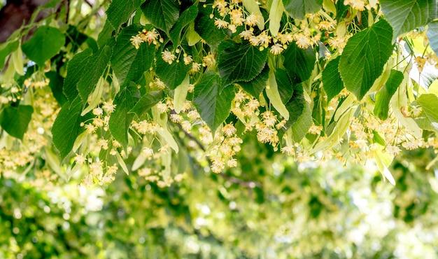 Lipowe gałąź z kwiatami na słonecznym dniu