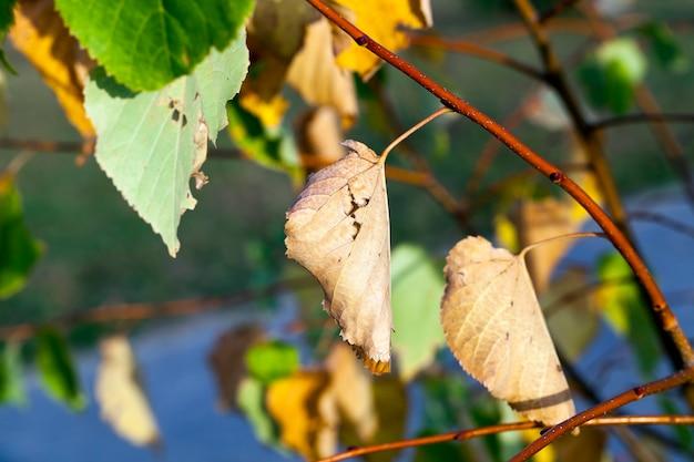 Lipy pożółkłe liście na drzewach