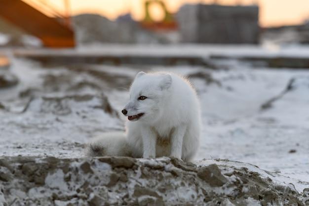Lis arktyczny zimą w tundrze syberyjskiej o zachodzie słońca.