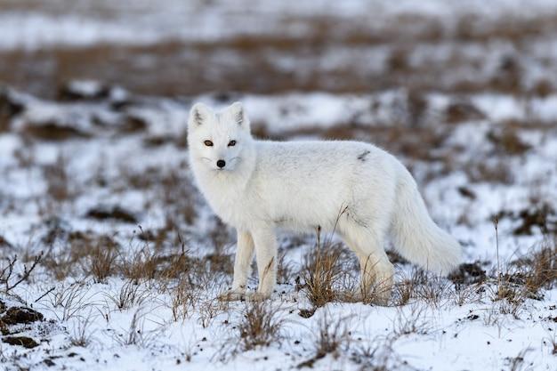 Lis arktyczny zimą w tundrze syberyjskiej