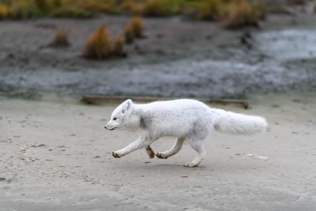 Lis polarny (vulpes lagopus) w dzikiej tundrze. biegnący lis polarny.