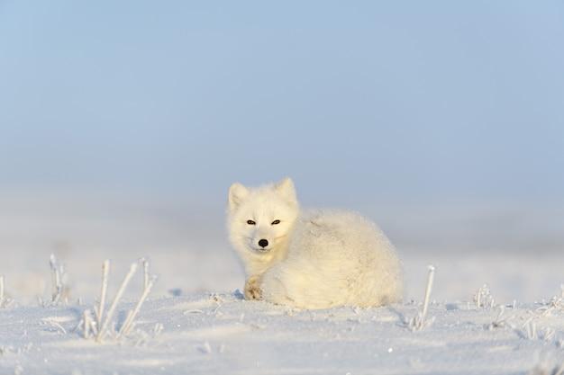 Lis polarny (vulpes lagopus) w dzikiej tundrze. lis polarny leżący. spanie w tundrze.