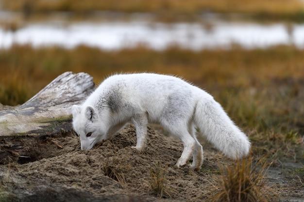 Lis polarny (vulpes lagopus) w dzikiej tundrze. lis polarny na plaży.