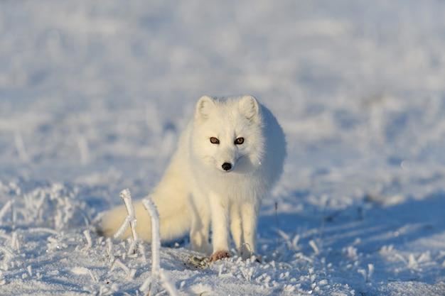 Lis polarny (vulpes lagopus) w dzikiej tundrze. lis polarny stojący.