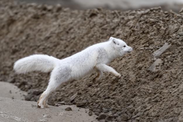 Lis polarny (vulpes lagopus) w dzikiej tundrze. skaczący lis polarny.