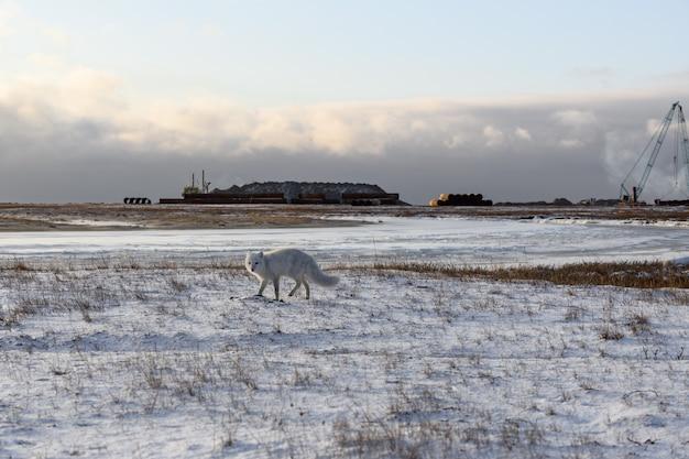 Lis polarny (vulpes lagopus) zimą w syberyjskiej tundrze