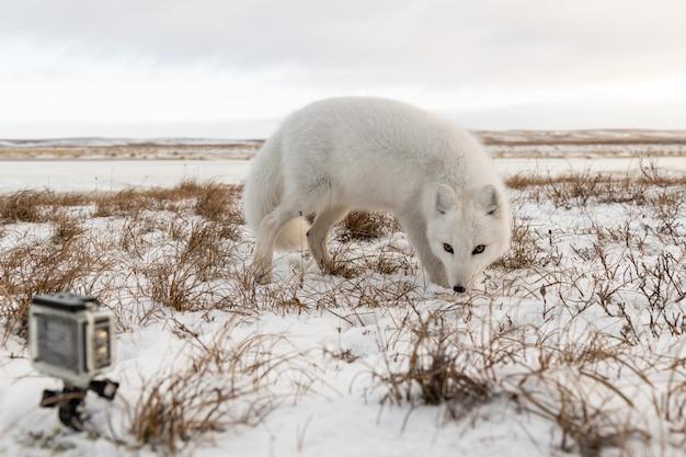Lis polarny (vulpes lagopus) zimą w tundrze syberyjskiej i kamera sportowa
