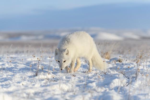 Lis polarny w tundrze syberyjskiej w okresie zimowym.